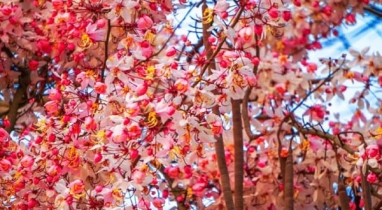 জাপানের জাতীয় ফুল দেখবেন জাবি ক্যাম্পাসে