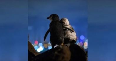 মনোমুগ্ধকর ছবিতে দুই পেঙ্গুইন